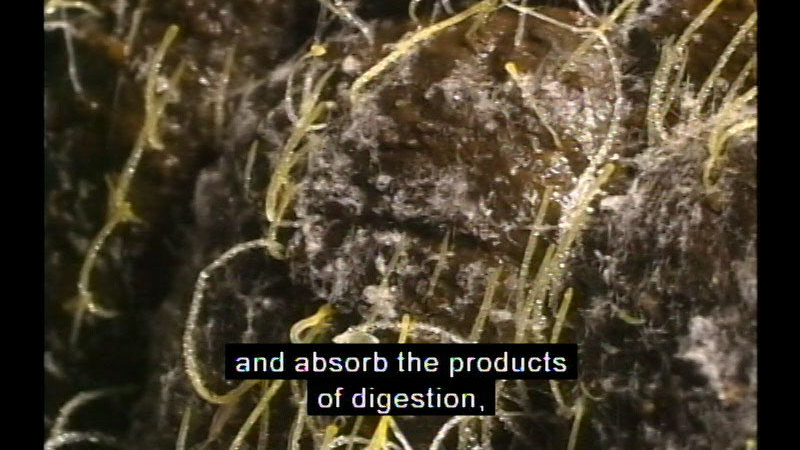 Closeup view of thin, light green tube-like structures growing off stone. Caption: and absorb the products of digestion,