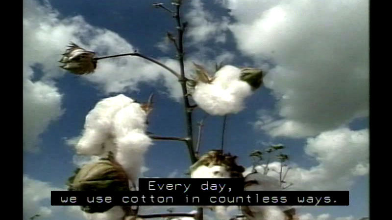 Still image from Cotton