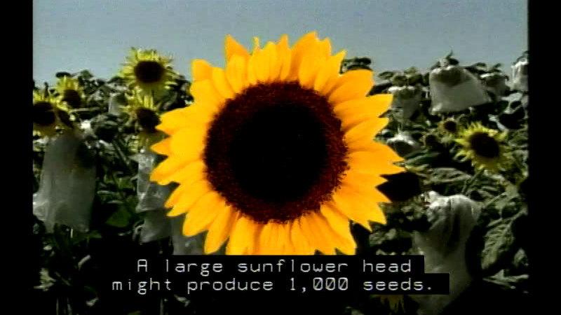 Closeup of a sunflower. Caption: A large sunflower head might produce 1,000 seeds.