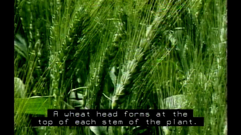 Still image from Wheat