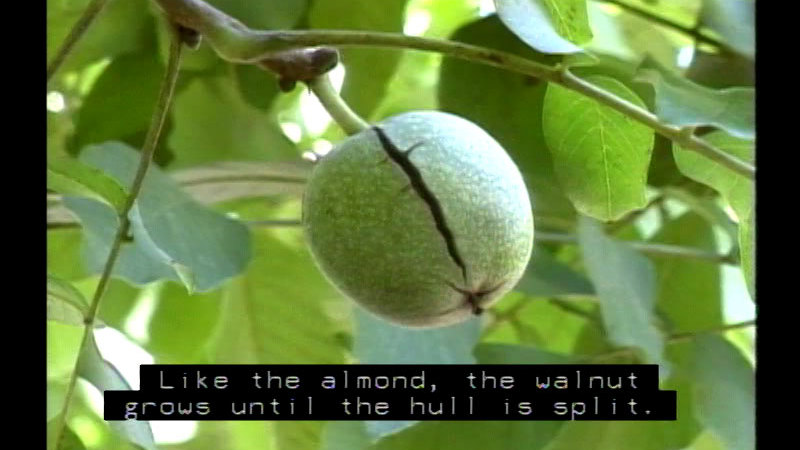 Closeup of a green, speckled fruit with a crack down one side. Caption: Like the almond, the walnut grows until the hull is split.