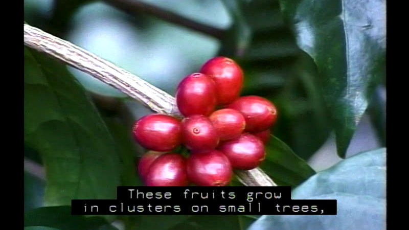 Closeup of a cluster of red, oval shaped berries. Caption: These fruits grow in clusters on small trees,