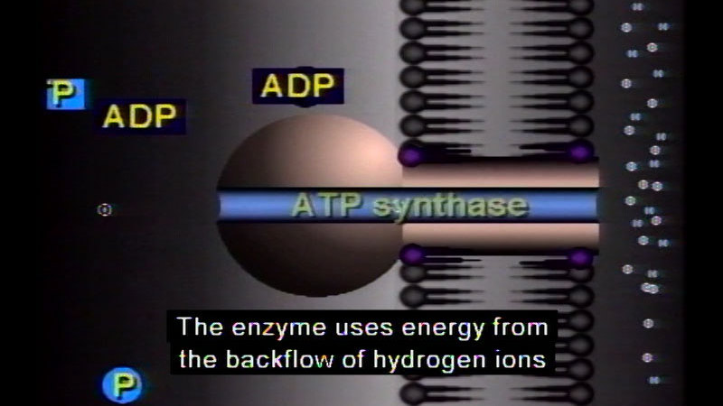 Still image from Photosynthesis And Cellular Respiration