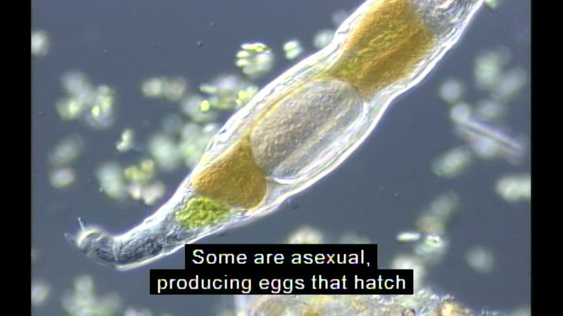 Close up view of microscopic organism.  Different colored organs are visible beneath the clear tissue of the body. Caption: Some are asexual, producing eggs that hatch