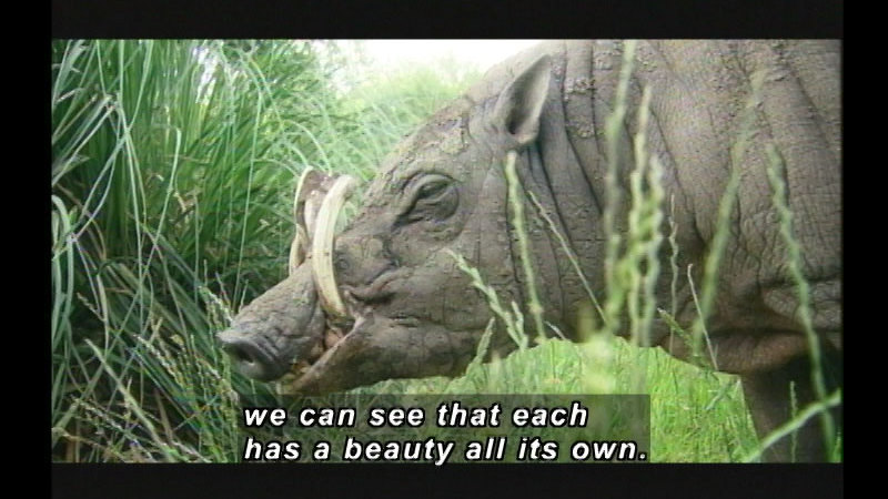 A warthog with long tusks curving towards its body and leathery skin covered in mud. Caption: we can see that each has a beauty all its own.