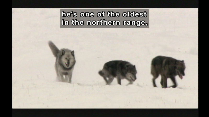 Three wolves in the snow. Caption: He's one of the oldest in the northern range,