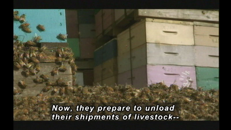 Still image from Mystery Of Disappearing Honeybees: Fusion Of Form & Function