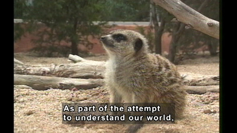 A meerkat sitting in the sand. Caption: As part of the attempt to understand our world,