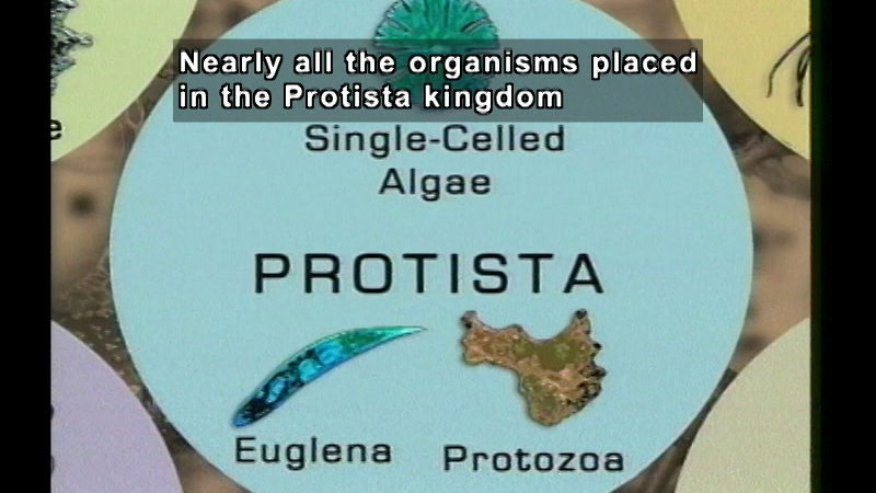 Example of two kinds of Protista, euglena and protozoa. Caption: Nearly all the organisms placed in the Protista kingdom