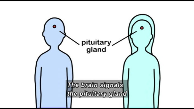 Outline of two bodies, a dot where the pituitary gland is located. Caption: The brain signals the pituitary gland