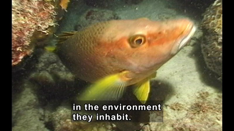 An orange fish with yellow fins swimming up from the ocean floor from between rocks toward the viewer. Caption: in the environment they inhabit.
