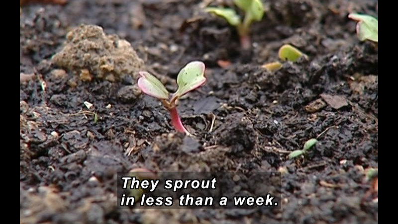 Plant sprouting from the ground. Caption: They sprout in less than a week.