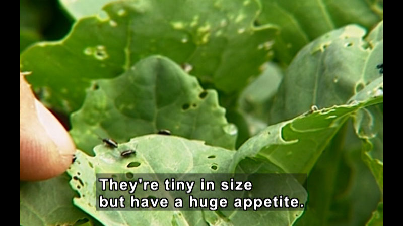 Close up of small, black insects on foliage with holes eaten out of it. A human finger is touching the edge of the leaf and is giant in comparison to the insects. Caption: They're tiny in size but have a huge appetite.