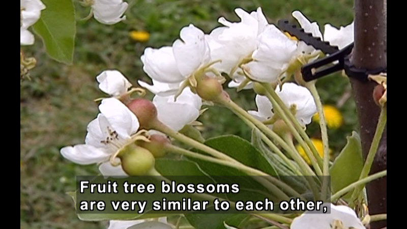 Closeup of white blossoms on a tree. Caption: Fruit tree blossoms are very similar to each other,