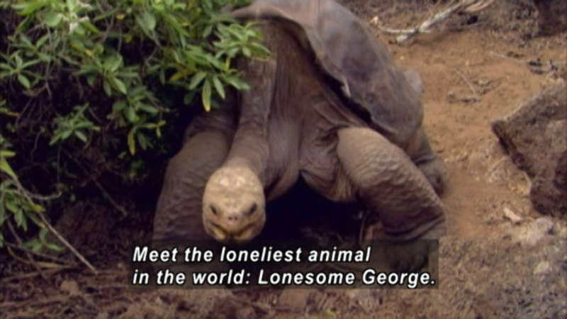 A large turtle walking. Caption: Meet the loneliest animal in the world: Lonesome George.