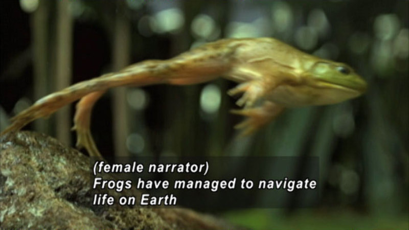 A frog in mid-leap. Caption: (female narrator) Frogs have managed to navigate life on Earth