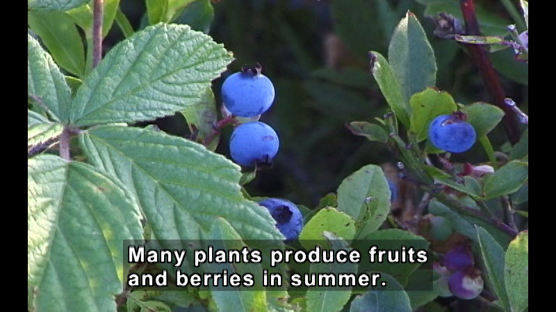 Blueberry plant with ripe berries. Caption: Many plants produce fruits and berries in summer.