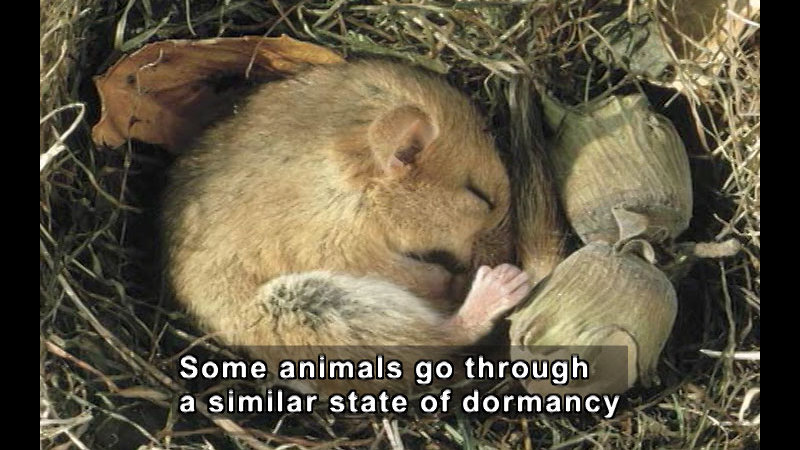 Small rodent curled in a ball and sleeping in a nest with acorns. Caption: Some animals go through a similar state of dormancy