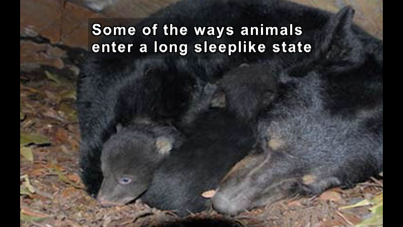 Adult curls around two baby animals. Caption: Some of the ways animals enter a long sleeplike state
