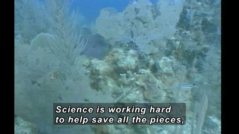 Underwater plants and coral. Caption: Science is working hard to help save all the pieces,