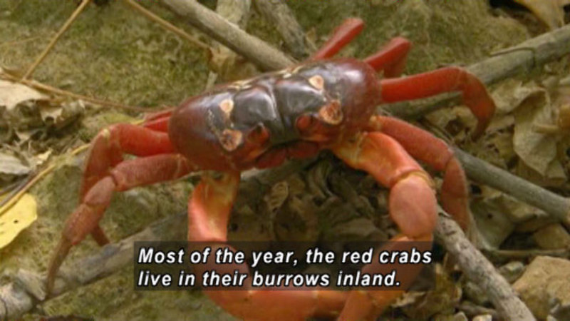 Crab with red legs and a darker body. Caption: Most of the year, the red crabs live in their burrows inland.