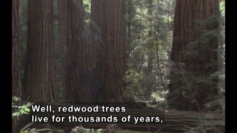 Forest of large, towering trees. Caption: Well, redwood trees live for thousands of years,