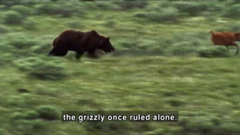 A grizzly bear chasing an animal, moving so quickly the image is blurred. Caption: the grizzly once ruled alone.