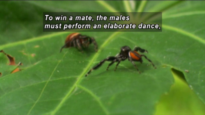Two spiders facing each other on a leaf. Caption: To win a mate, the males must perform an elaborate dance,