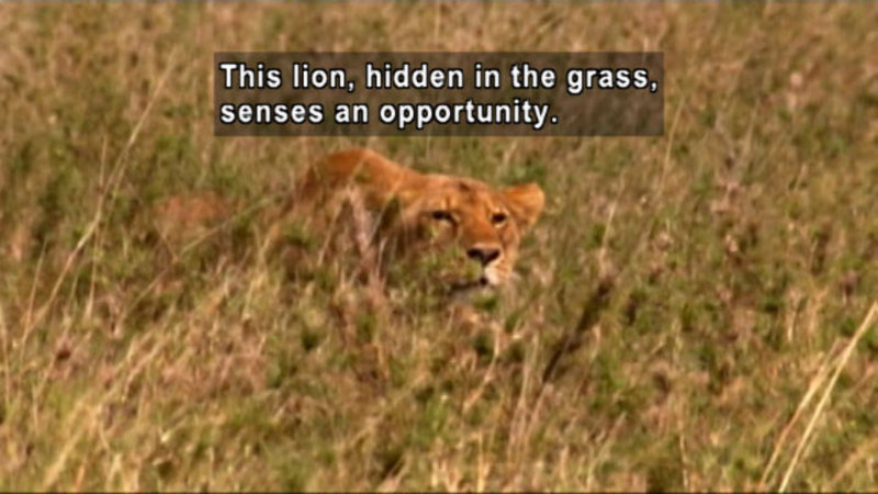 Lion crouching low in the grass. Caption: This lion, hidden in the grass, senses an opportunity.