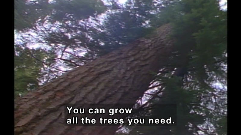 A tall evergreen tree as seen from below. Caption: You can grow all the trees you need.