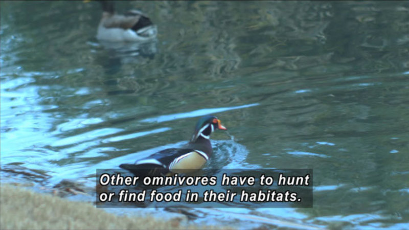 Ducks swimming in the water. Caption: Other omnivores have to hunt or find food in their habitats.