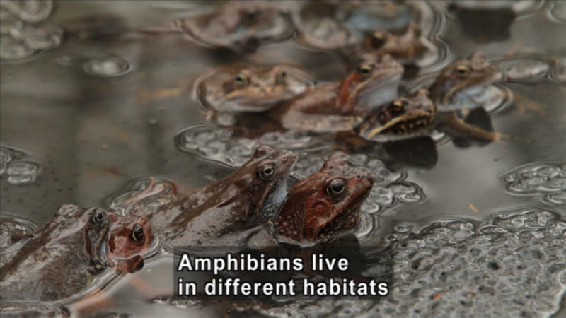 Frogs partially submerged in shallow water. Caption: Amphibians live in different habitats.
