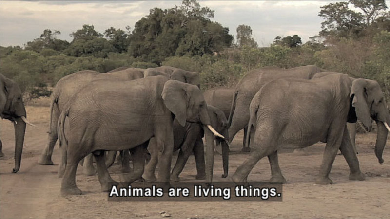 Herd of elephants in natural habitat. Caption: Animals are living things.