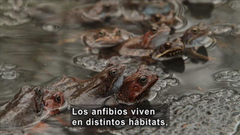 Frogs partially submerged in shallow water. Spanish captions.