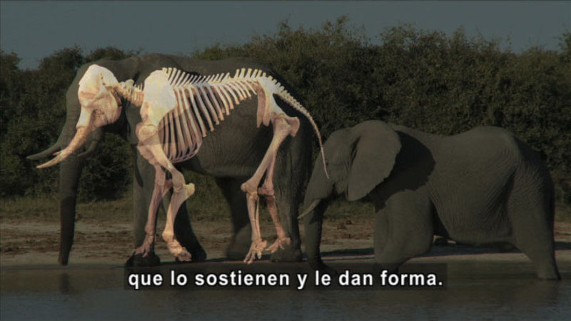 Still image from Science Video Vocab: Vertebrate (Spanish)
