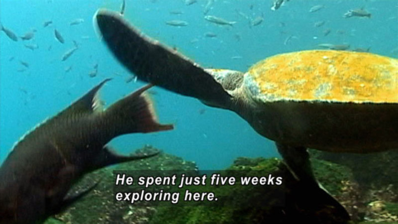A turtles swimming amongst fish. Caption: He spent just five weeks exploring here.