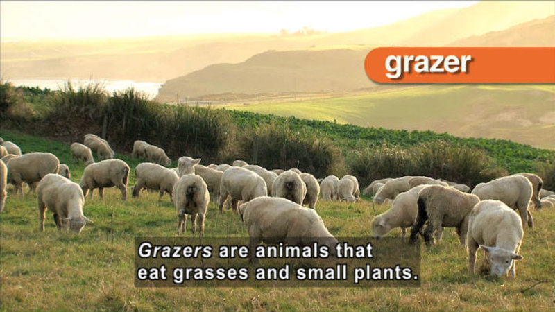 Flock of sheep grazing in a pasture. Caption: Grazers are animals that eat grasses and small plants.