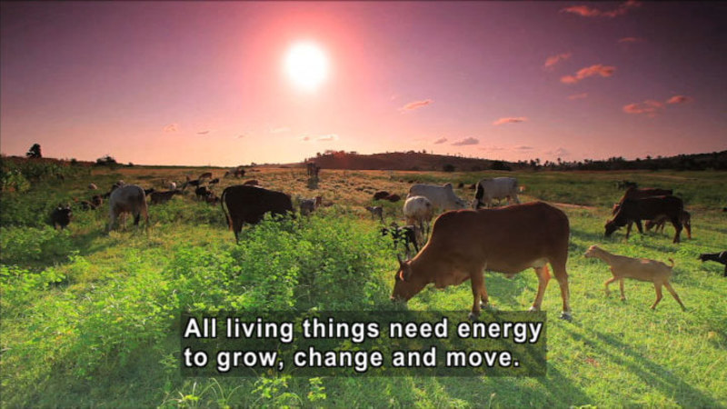 Herd of cows grazing in a green pasture. Caption: All living things need energy to grow, change and move.
