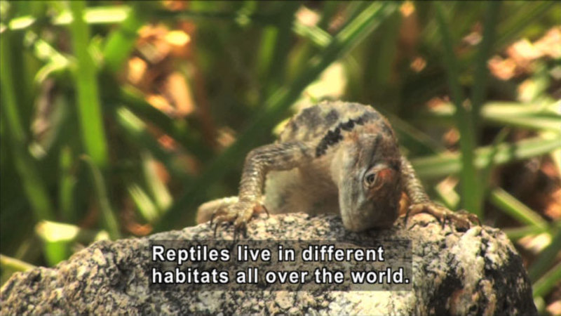 Lizard on a rock. Caption: Reptiles live in different habitats all over the world.