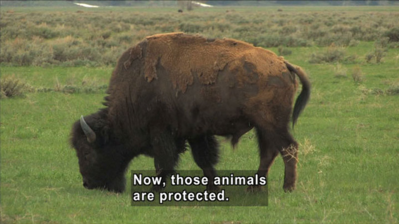 A bison grazing in the field. Caption: Now, those animals are protected.