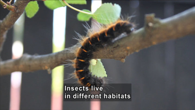 A black caterpillar with orange stripes and hair crawling on a tree branch. Caption: Insects live in different habitats