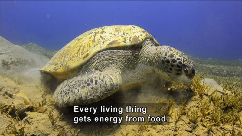 Large turtle swimming on the ocean floor. Caption: Every living thing gets energy from food.