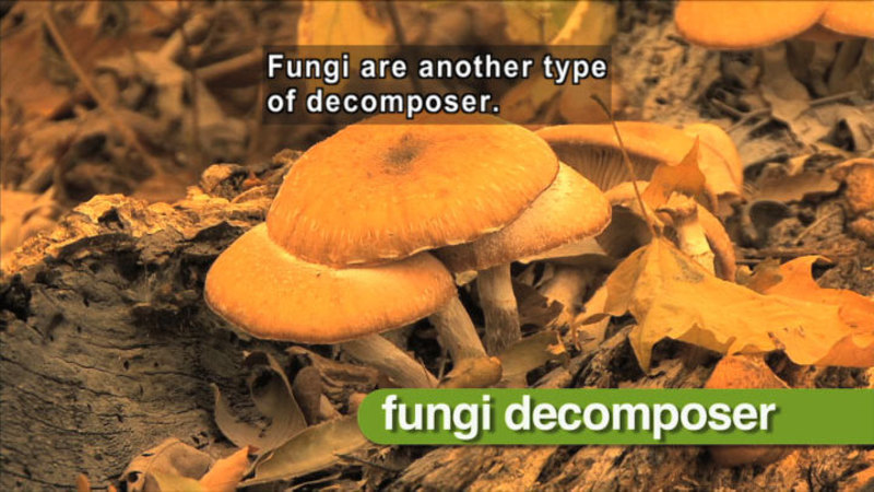 Closeup of a cluster of mushrooms. Fungi decomposer. Caption: Fungi are another type of decomposer.