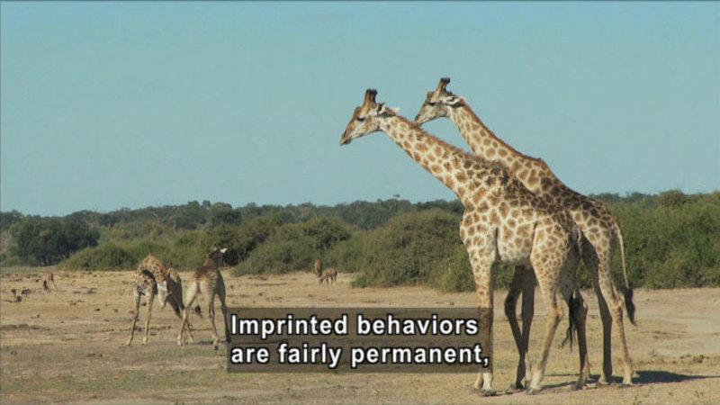 Giraffes in natural habitat. Caption: Imprinted behaviors are fairly permanent,