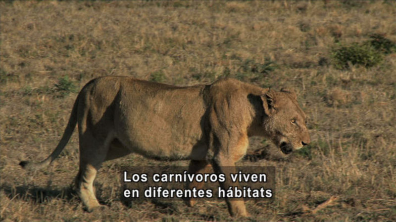 A female lion on a brown, grassy plain. Spanish captions.