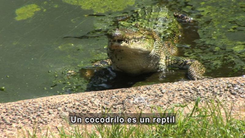 Crocodile at the water's edge. Spanish captions.