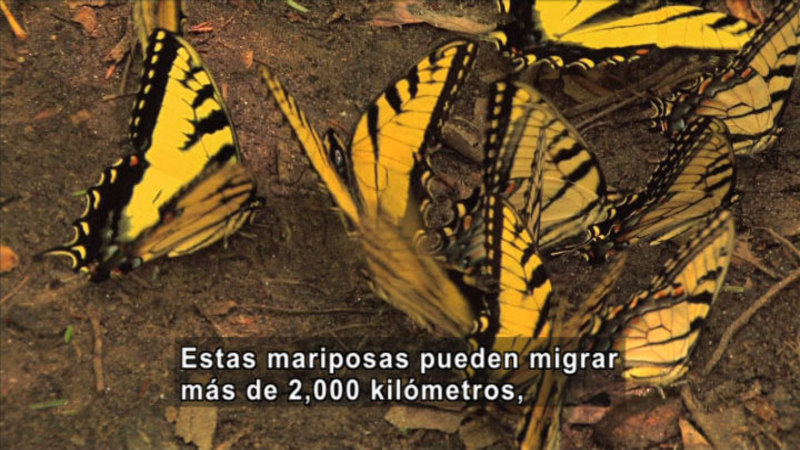 Yellow and black butterflies on the ground. Spanish captions.