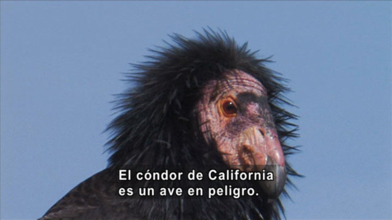 Still image from Science Video Vocab: Endangered Species (Spanish)