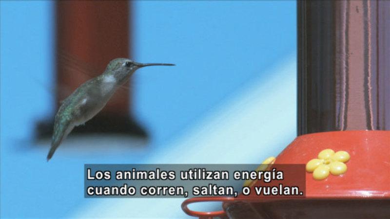 A hummingbird hovering near a feeder. Spanish captions.
