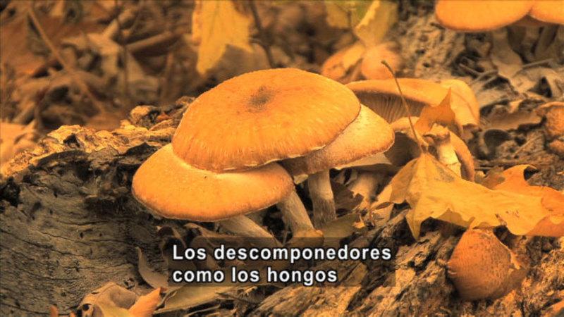 Closeup of a cluster of mushrooms. Fungi decomposer. Spanish captions.